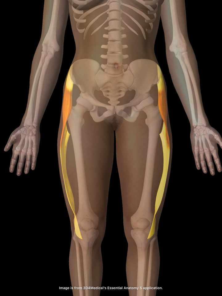 大腿筋膜張筋のイラスト