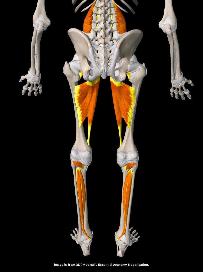 後脛骨筋・内転筋・腸腰筋