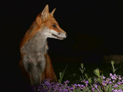 urban fox by everything is permuted on flickr