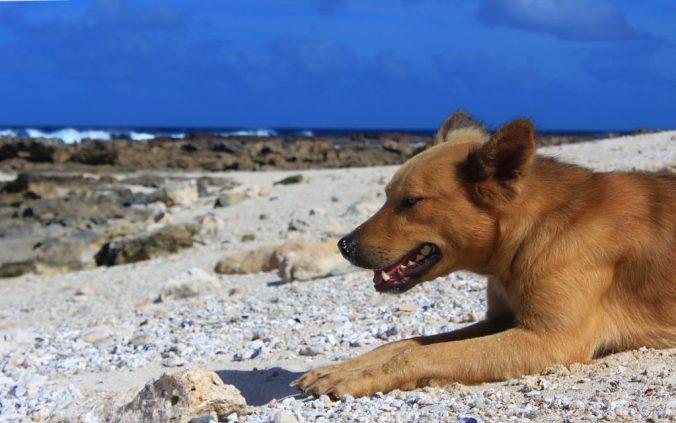 A dog relaxing on a beach in 'Eua Island, Tonga.