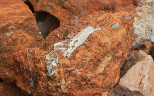 Fossilized bone sticking from a rock in Makapansgat, South Africa