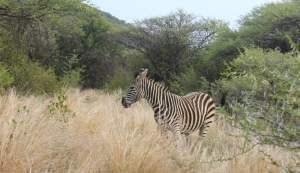 A zebra in Mokopane Game Breeding Center, South Africa.