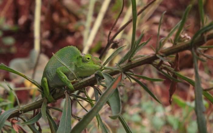 West Usambara two-horned chameleon in Lushoto, Tanzania