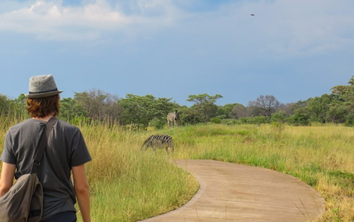 Spotting zebras in Entabeni Game Reserve golf course