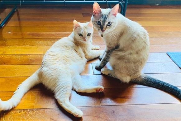 あーりおーるカフェの猫、メリィとトロン