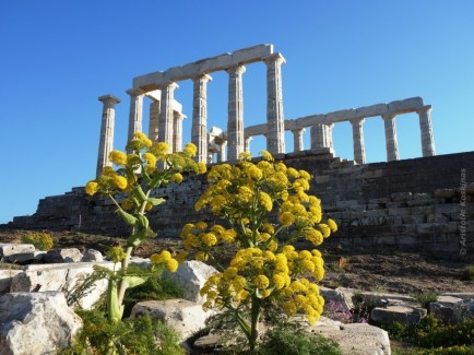 Giant fennel in bloom, in front of the temple of Poseidon, Sounion.