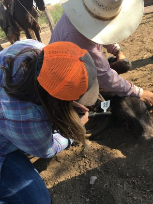 Shayla is ear-tagging a calf, a vital component of record keeping and animal identification to maintain proper care.
