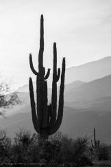 Cheryl Caffarella Wilson | Saguaro National Park