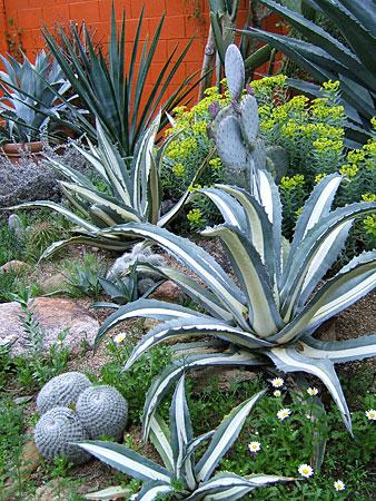 arizona cactus gardening