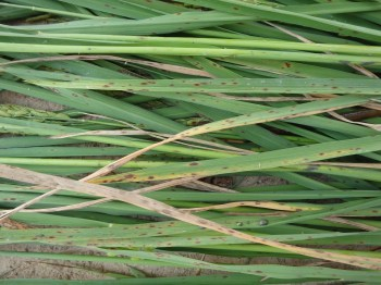 Rice leaves showing potassium (K) deficiency and resulting brown spot