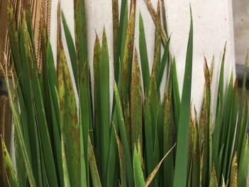 Collection of potassium deficient rice leaves