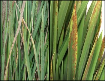 Potassium deficiency of rice