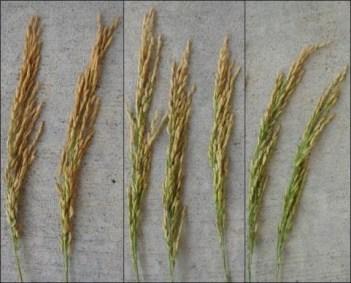 Rice Drain Timing