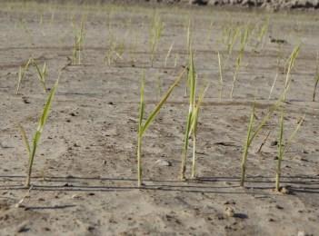 Cold injury to rice seedlings
