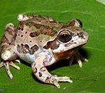 Strecker's Chorus Frog