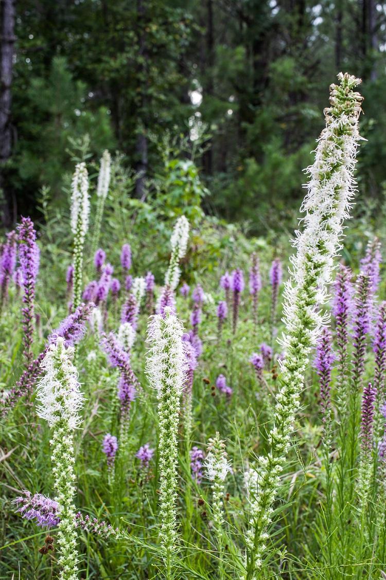 Field Of Prairie Blazing Stars Arkansas Native Plant Society