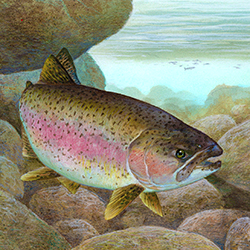 Rainbow_trout_FWS_1 (US Fish and Wildlife Service Public Domain Image) 250x250thumb