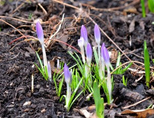 Purple Crocus Buds