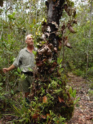 Heath forest pitcher plants