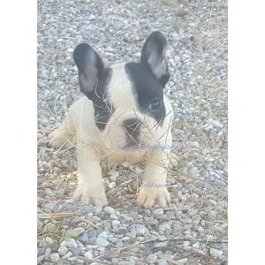 Best 2017 French Bulldog Melbourne Size 2017 Do French