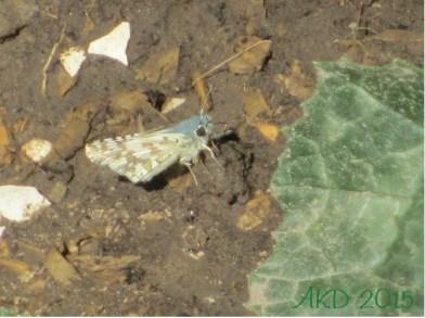 Little blue butterfly 1