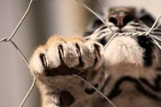 Tiger Cub 02