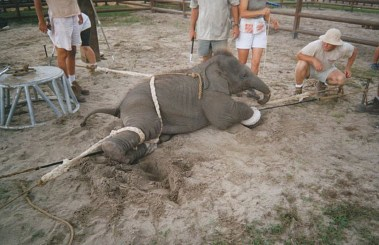cruelty-on-baby-elephant-6[1]
