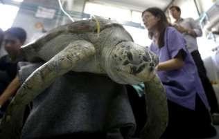 APphoto_Thailand-Turtle-Trouble-05