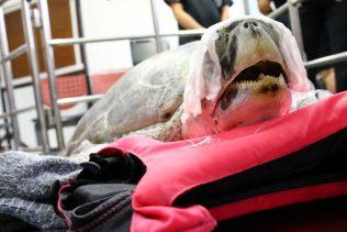 APphoto_Thailand-Turtle-Trouble-08