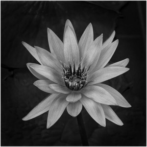 Water Lily - Bob Reynolds