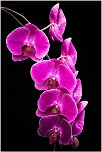 Joanne Barsanti - Orchid Gang