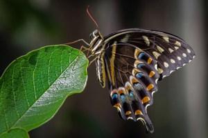 Bill Heider - Swallowtail
