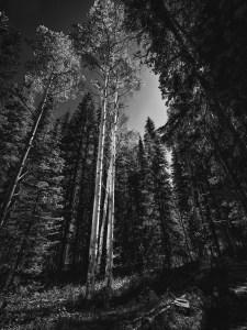 Larry Brady - Birch Trees in the Pines