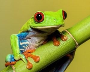 Ken Olsen - Red-eyed Tree Frog