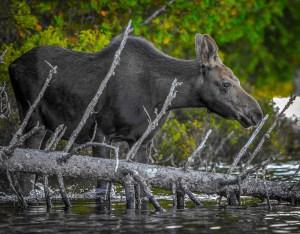 """Herb DeBarba, """"Wading Moose"""""""