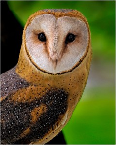 """Barn Owl"" by Ken Olsen"