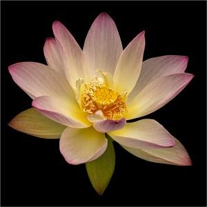 """Ken Olsen- """"Lotus"""""""