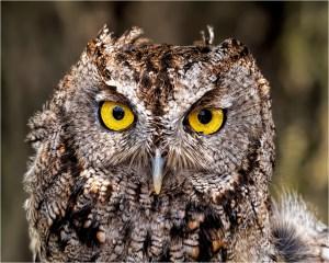 Ken-Olsen_Screech-Owl