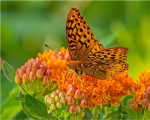 "Ken Olsen - ""Fritillary on Butterfly Weed"""