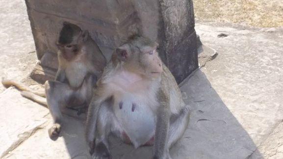 Monos en Angkor Wat (Camboya)