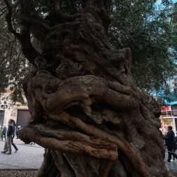 Olivo centenario en la plaza del Ayuntamiento, te llamará la atención por su pronunciado tronco.