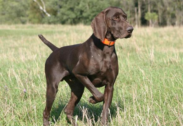 The German Short-Haired Pointer