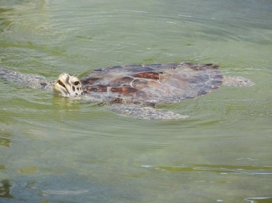 A patient at the Sea Turtle Hospital