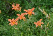 Wild Tiger Lillies