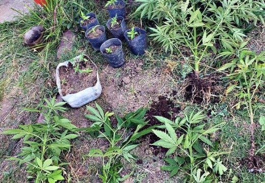 En allanamiento en Villa Eloísa secuestran 16 plantas de marihuana.