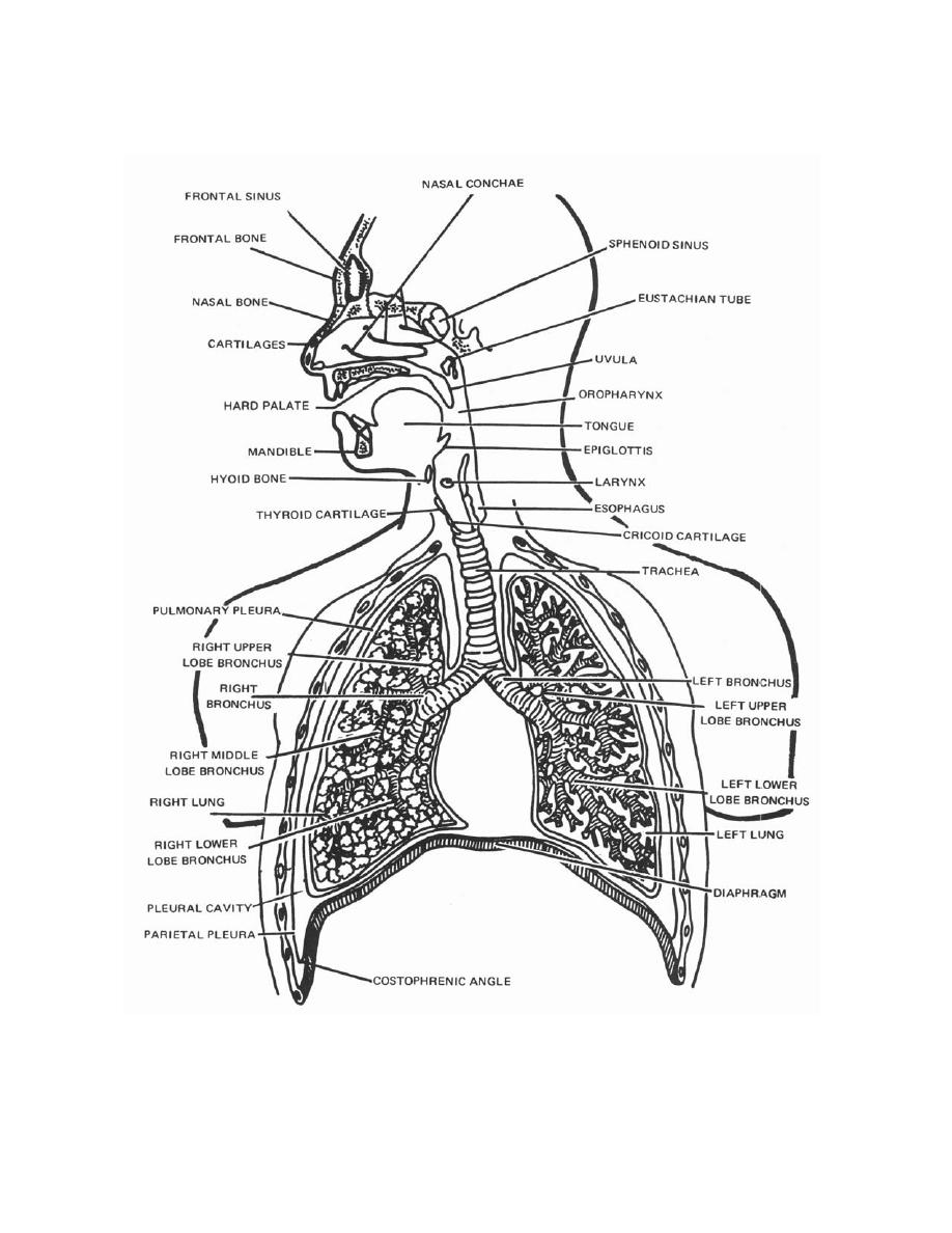 respiratory system page