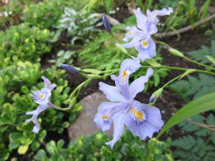 Iris confusa 2