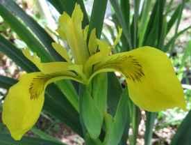 Iris pseudacorus