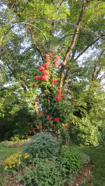 Rosa tonnelle 1
