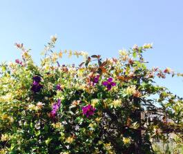 Clematis and lonicera mixed